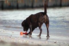 Dog playing on beach Stock Image