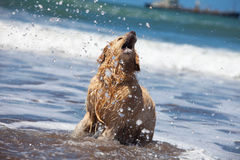 Dog playing on the beach. Golden retriever playing in the ocean Royalty Free Stock Images