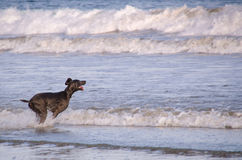 Dog playing on a beach Royalty Free Stock Photos