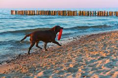 Dog playing on the beach, dog running on the beach, big dark dog on the coast. Dog running on the beach, dog playing on the beach, big dark dog on the coast Stock Photography