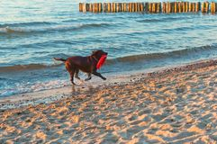 Dog playing on the beach, dog running on the beach, big dark dog on the coast stock photos
