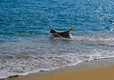 Dog playing at the beach royalty free stock photo