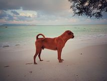Brown dog on the beach royalty free stock images