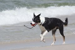 Dog playing on the beach Royalty Free Stock Images