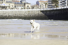 Dog playing on the beach Stock Photo