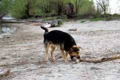 Dog playing on the beach. stock image
