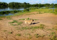The dog is playing on the beach. Klyazma River. Vladimir region. Russia. Series: Nature of Russia. Landscapes and picturesque views of Russian nature. Can be royalty free stock photography