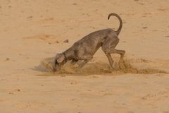 Dog playing on a Beach royalty free stock images