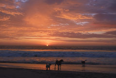Dog playing on beach while the sun set in the sea. Stock Photos