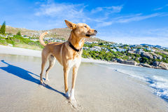 Dog playing at the beach Royalty Free Stock Photography