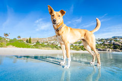 Dog playing at the beach stock photography