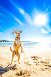 Dog playing at the beach Royalty Free Stock Image