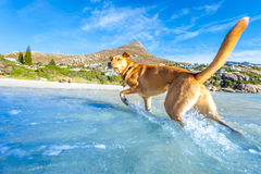 Dog playing at the beach stock image