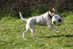 dog is playing with a big ball Stock Photo