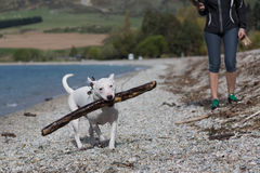 Dog playing with a big stick on the beach Stock Photos