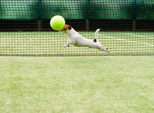 Dog playing big tennis ball. Jack Russell Terrier with giant ball at tennis court Royalty Free Stock Image
