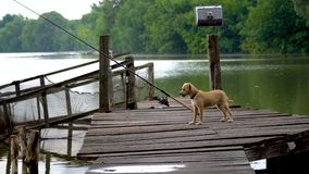 Dog playing with birds. On a wooden fishing pier stock footage
