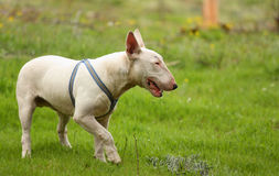 A dog (Bull terrier) playing stock images