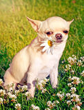 Dog playing with camomile Stock Photography