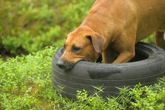 dog playing with a car tire royalty free stock photography