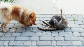 Dog playing with a cat. Spitz wants to bite the cat by the tail stock footage