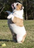 Dog playing catch Stock Photos