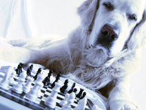 Dog playing chess Royalty Free Stock Photo