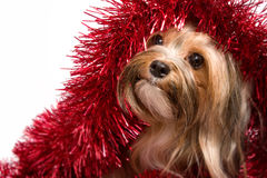 Dog playing with christmas decorations Royalty Free Stock Images