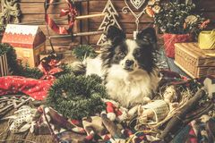 Dog playing with Christmas decorations stock photo