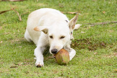 The dog is playing with the coconut that it is fun. Stock Images