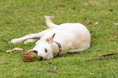 The dog is playing with the coconut that it is fun. Royalty Free Stock Photo