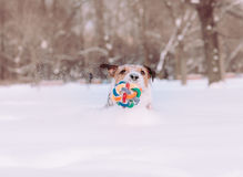 Dog playing with colorful toy falls into snowdrift Stock Photo