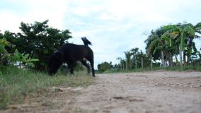 Dog Playing at countryside in Phattalung province of southern Thailand. stock video