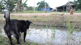 Dog Playing at countryside in Phattalung stock video
