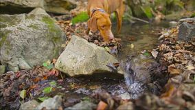 Dog playing in the creek at autumn stock video footage
