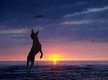 Dog is playing with disc on the beach at sunset Royalty Free Stock Images