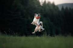 The dog is playing with the disc in the field. Sport with Pet. stock image