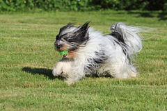 Dog playing fetch. White and black Tibetan Terrier dog running with green ball in mouth Royalty Free Stock Images