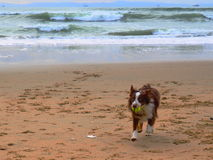 Dog playing fetch on Beach. Cloudy day royalty free stock images