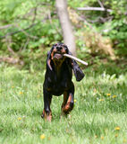 Dog playing fetch. Black and tan coonhound playing fetch with a stick royalty free stock photos