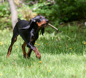 Dog playing fetch. Black and tan coonhound playing fetch with a stick royalty free stock photo