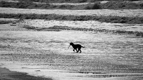 Dog Playing Fetch Black And White. A silhouette of a dog fetching a wooden stick thrown by his master on a beach. Image is converted into black and white or stock photo