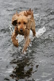 Dog playing fetch in lake Royalty Free Stock Photos