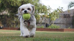 Dog Playing Fetch. A photo of a dog playing a game of royalty free stock images