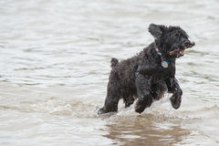 Dog playing fetch in water. A cute black dog playing fetch with a stick at the lake royalty free stock image