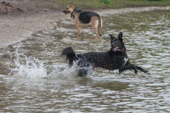 Dog playing fetch in water Royalty Free Stock Photos