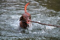A dog playing fetch in the water with a large stick royalty free stock photography