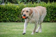 Dog playing fetch. Wet labrador retreiver playing fetch stock photos