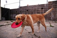 Dog playing with a flying disc Stock Photos