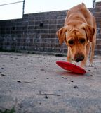 Dog playing with a flying disc Royalty Free Stock Photo